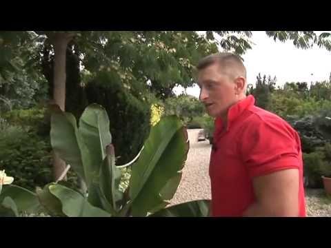 Banánfa a kertben - kertészeti tanácsok, Budapest