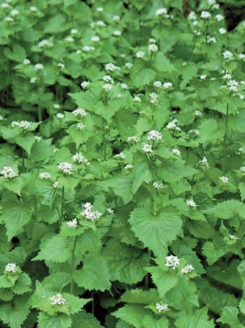 """Garlic Mustard - If you enjoy """"weeding,"""" this invasive plant will give you an ongoing workout."""