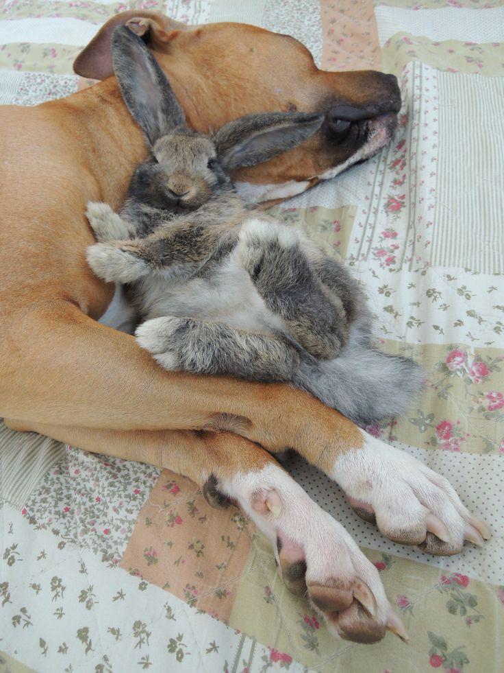 Pitbull and bunny (pitbull a králík)