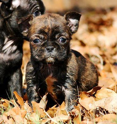 LOL a mix of a french bulldog and a pug cute and kinda weird.......  :)
