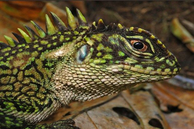 lizards | New lizard species look like evil dinosaur hybrids