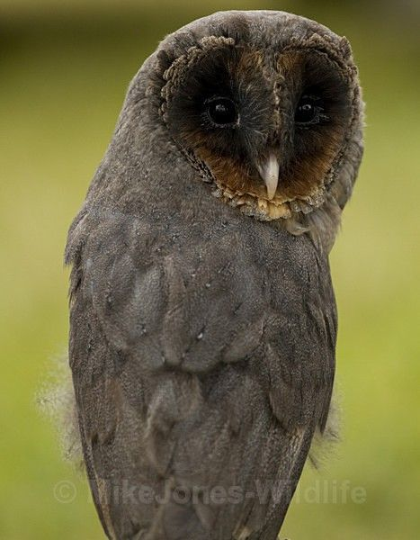 Black Barn Owl -                                                                                                                                                                                 More