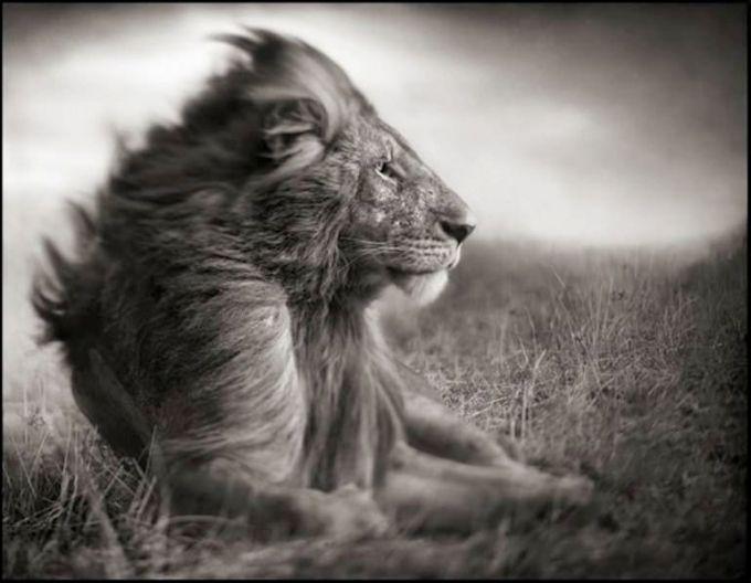 lion par Nick Brandt
