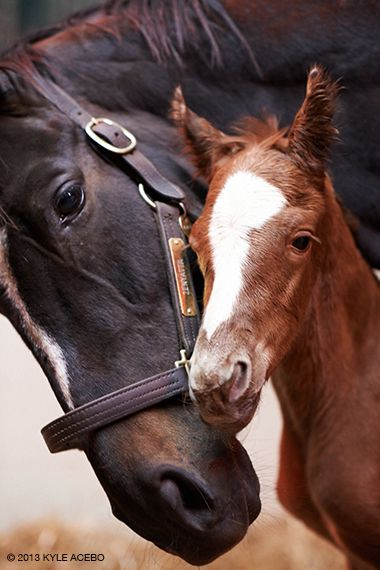Zenyatta with her colt, born April 1, 2013. Photo by Kyle Acebo