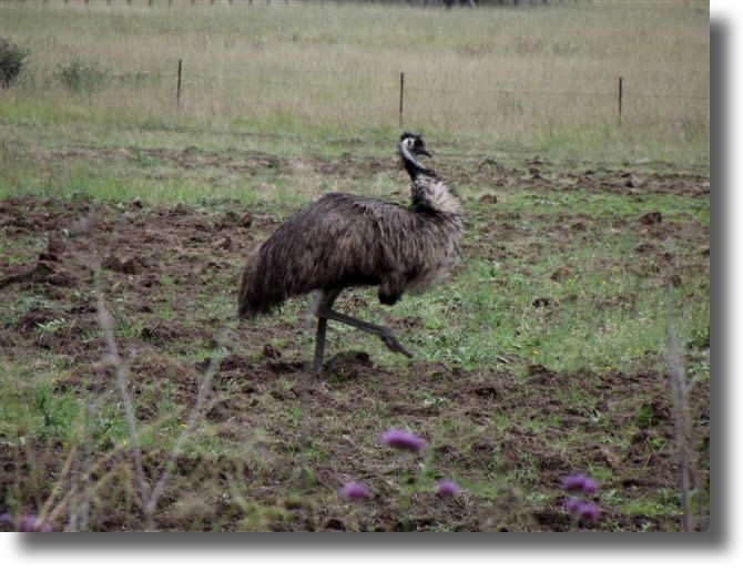 The Australian Emu cannot fly but can run very fast.  They are about 1 - 1.5 metres in height.  If you can find their feathers, they are fabulous in hats !  These guys lived across the road from us at Ulan near Mudgee NSW.