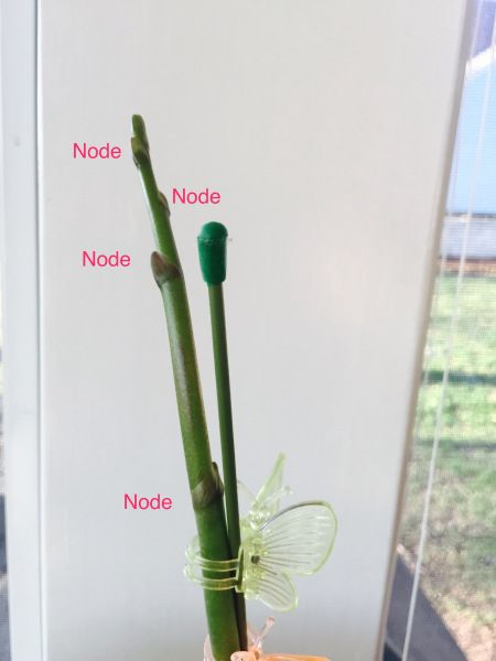 """Should I cut my orchid stem back, after it's done blooming? Updated 3/1/17 This post will cover what you should do with your orchid stem once your orchid is done blooming. When I say """"d…"""