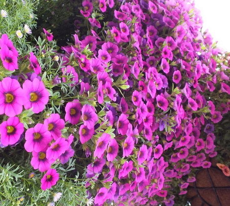 Цветок Многолетнее Фиолетовый Петуния hybrida Семена, Семена оригинальной Упаковке 50 шт. Длинный Период Цветок Сад бонсай семена цветов, легко Расти