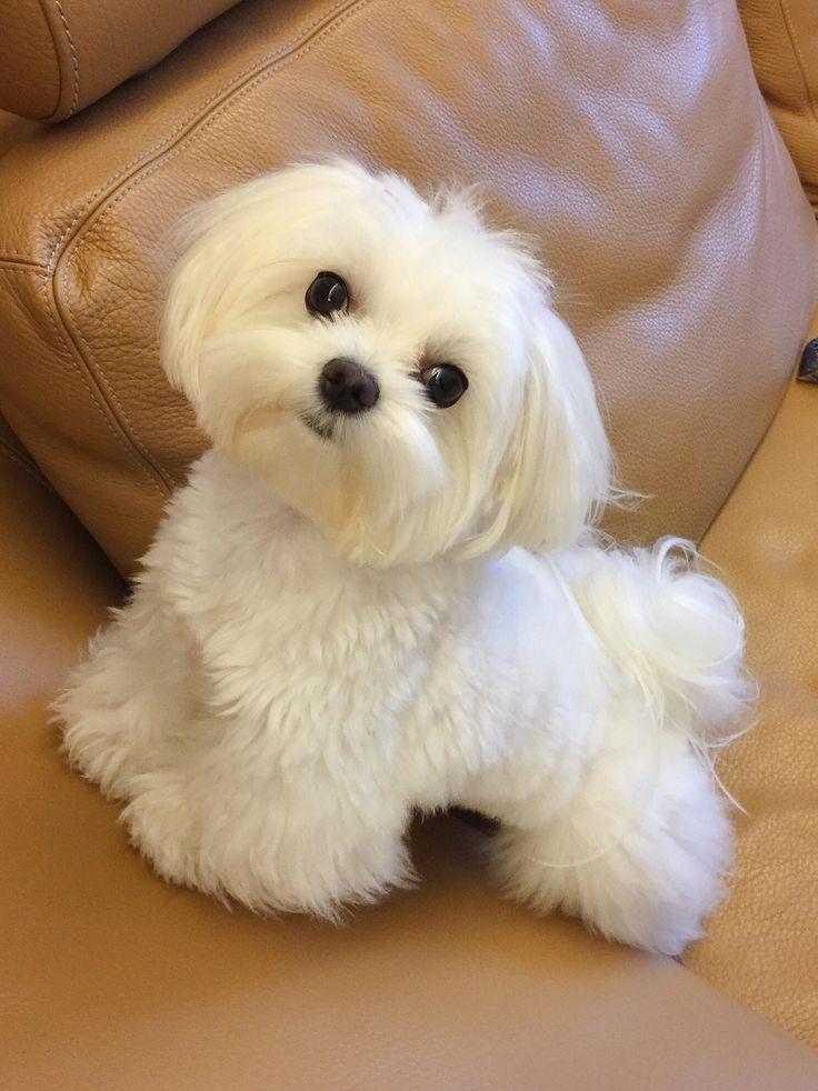 Send Me This Maltese Please Teacup Puppies Maltese Maltese Puppy
