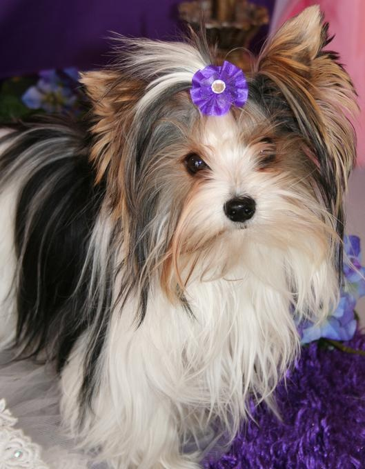 party yorkshire terrier 16 best parti yorkies images on pinterest yorkshire 3305