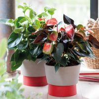 Woonplant van de maand juni: de Anthurium. #woonplant #Anthurium #juni