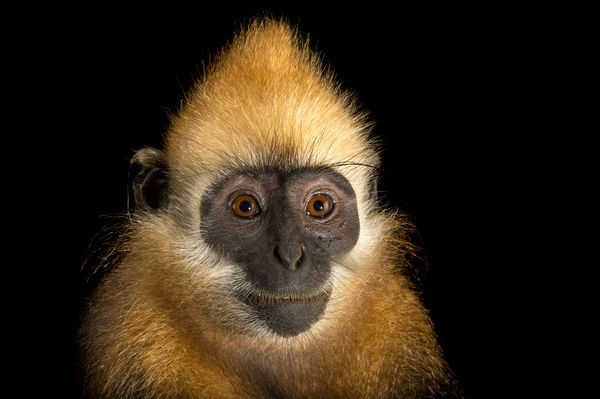The golden-headed or Cat Ba Iangur, shown here at the Endangered Primate Rescue Center in Vienam's Cuc Phuong National Park, is a critically endangered primate.