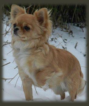 Chihuahua kennel Chickatjieka | Lieve chihuahua puppies te koop