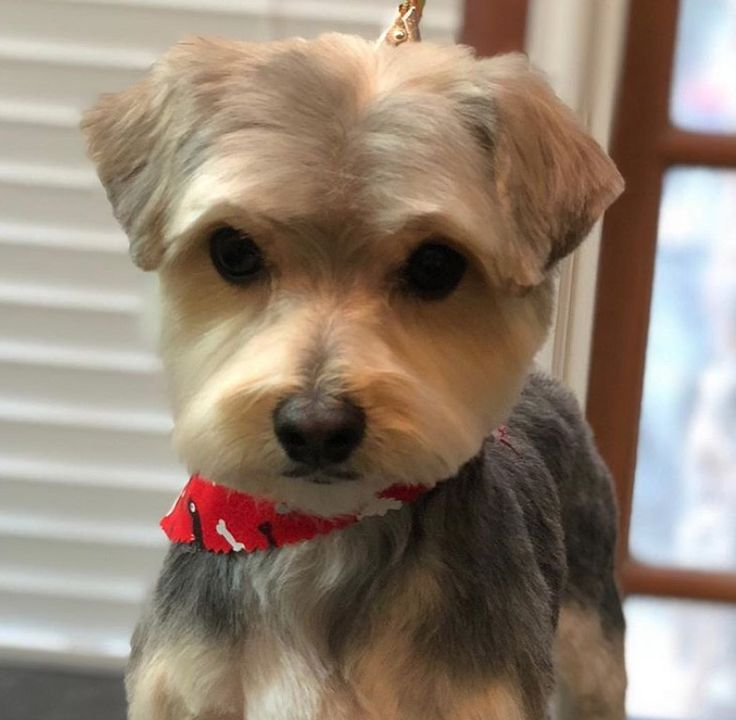 20 best morkie haircuts for dog lovers the paws in 2020
