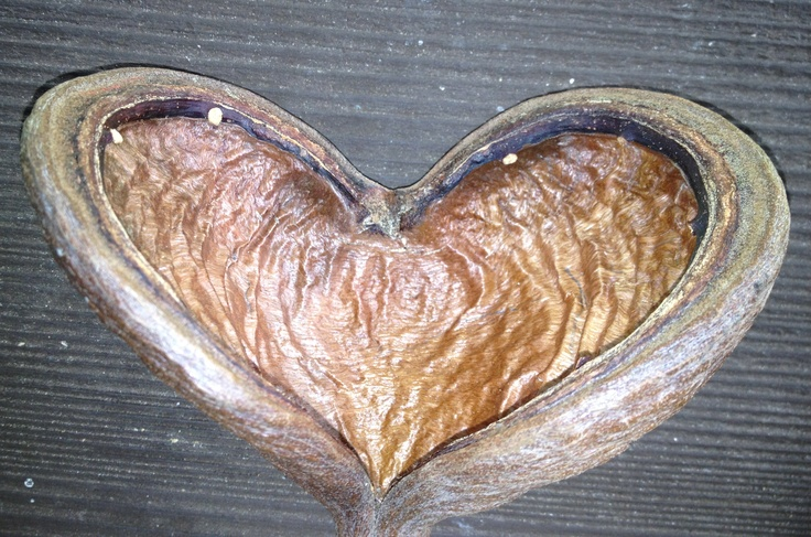 Heart Shaped Seed Pod From The Skunk Tree Valentines Day