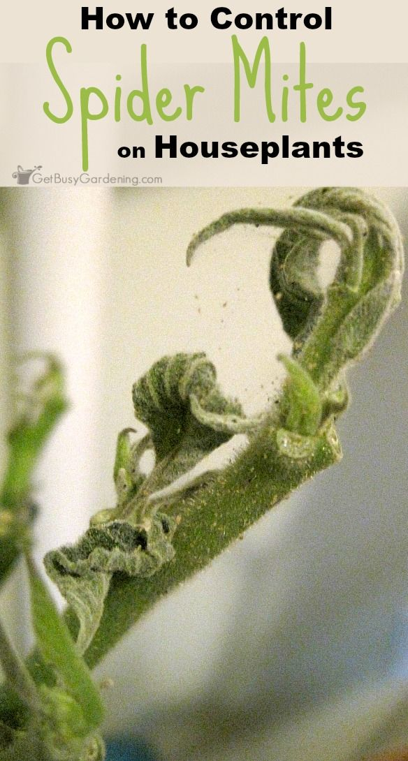 Spider mites are one of the most destructive houseplant pests and they multiply quickly. But spider mites are fairly easy to prevent and control.
