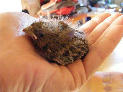 Les 25 meilleures id es concernant les oiseaux canaris sur pinterest oiseaux canaris canaris - Comment nourrir un oisillon ...