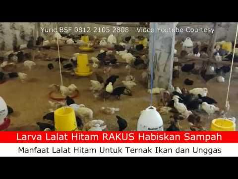 Lalat Hitam - Manfaat Lalat Hitam Biokonversi Sampah - Pakan Ternak Ikan...