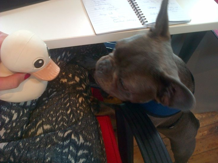 The adventures of Kawan continued. Meeting Dizzy the French Bulldog. http://ow.ly/wjXwc
