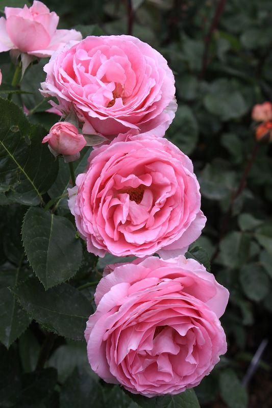 'Mum in a Million', ('Ghita Renaissance') | Hybrid Tea Rose. Poulsen 2004