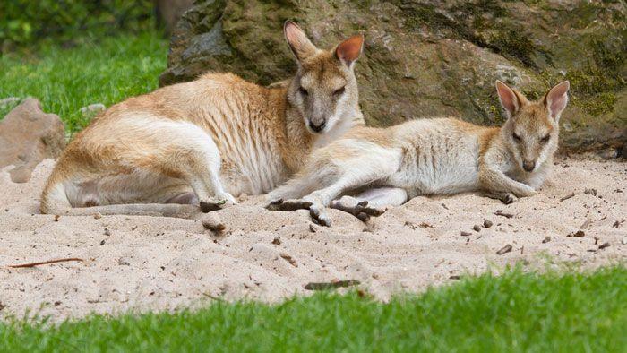 Two kangaroos resting in Brisbane http://www.westenddenture.com.au/