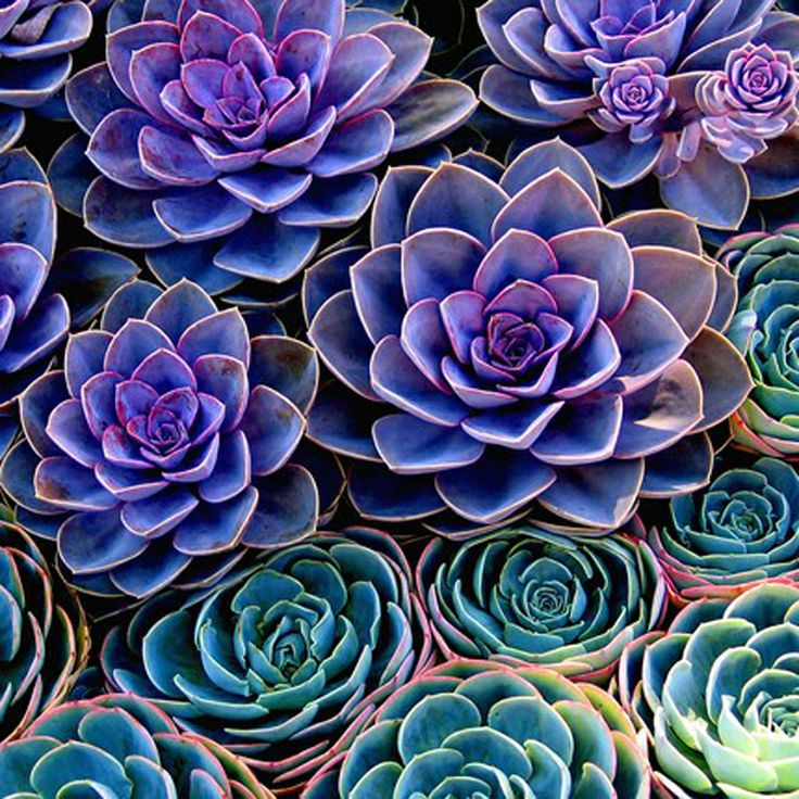 teal and purple succulents