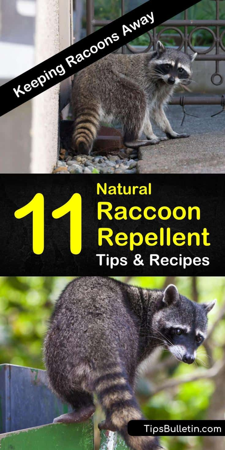 Keeping Racoons Away - 11 Natural Raccoon Repellent Tips and