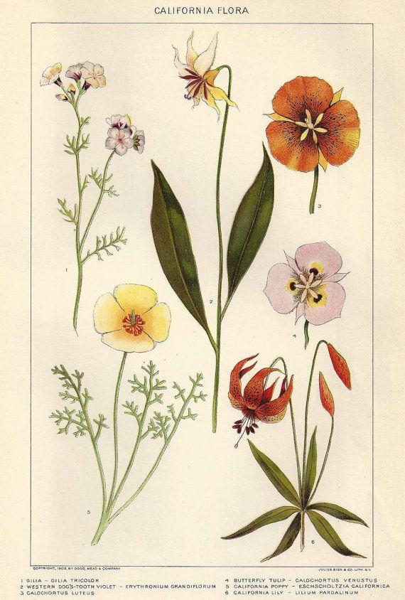 Antique Botanical print California Floral Flowers Plants ...