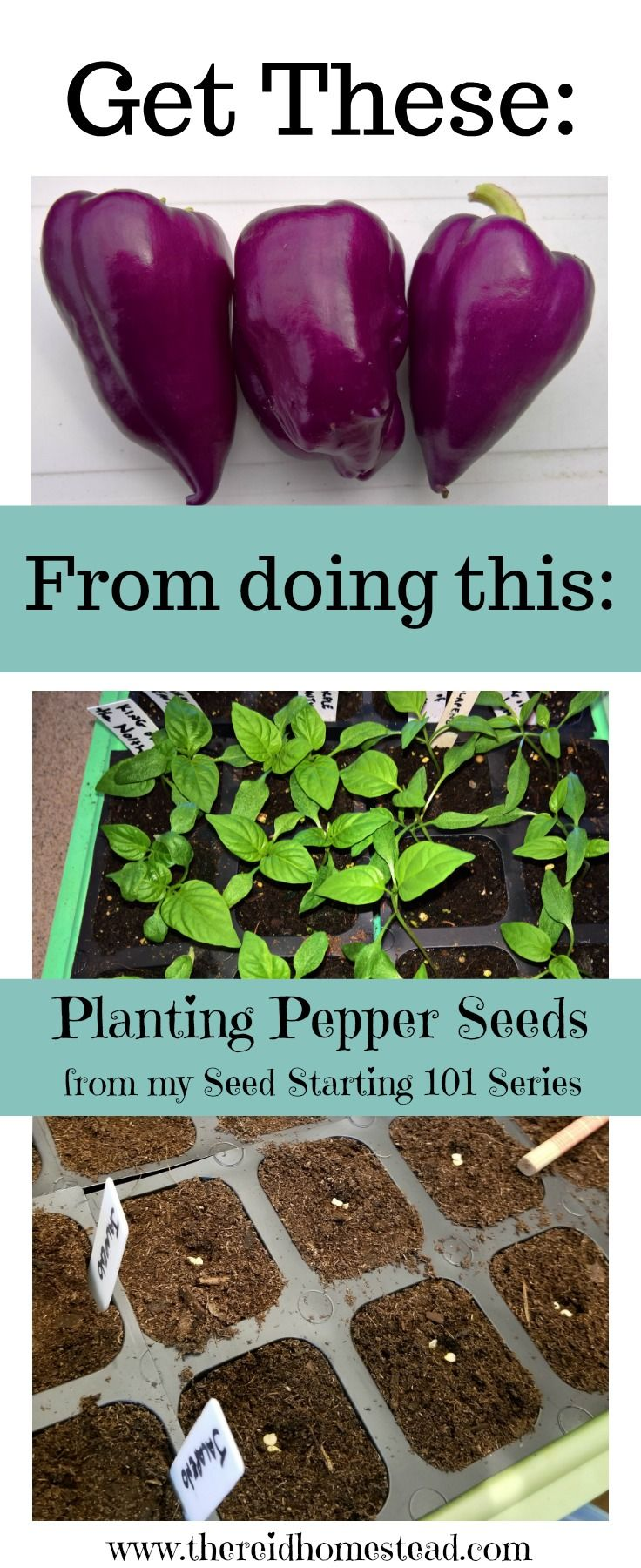 How to plant your pepper seeds successfully. Planting from seed give you a larger choice on the varieties you grow. Part of my Seed Starting 101 series. The Reid Homestead