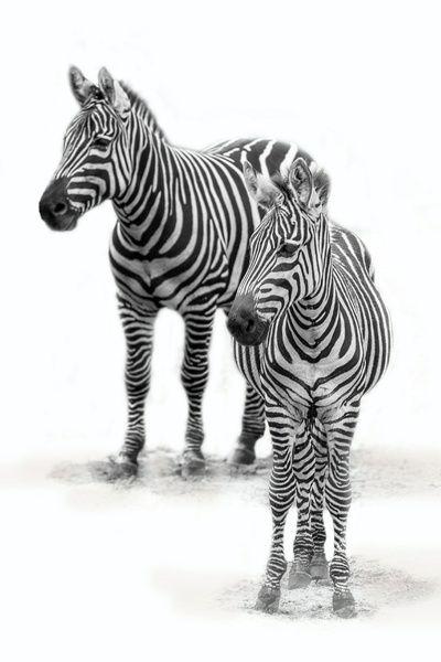 Zebra mit Jungem, Schwarz und Weiß (Dierenpark Emmen) aus Aafkes Fotografie