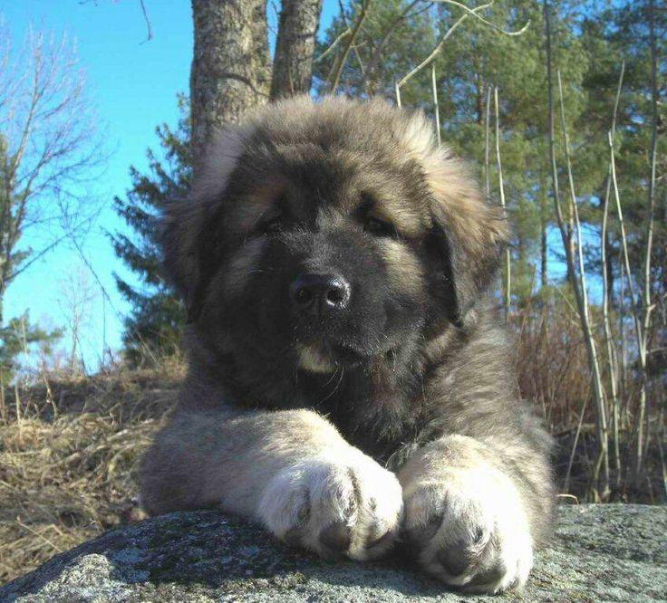 Caucasian Ovcharka puppy | Squishy Puffy Cheeks | Pinterest