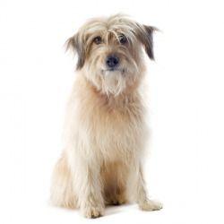 Il Cane da pastore dei Pirenei a pelo lungo è un cane di piccola-media taglia dall'aria vispa e furba. Coraggioso e leale verso il padrone, questo cane adora correre nei pascoli e giocare con i bambini.