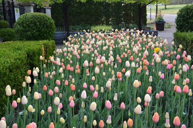 Tips for planting tulips en masse. How to choose tulip colors, how to vary bloom times for the best visual effect etc.