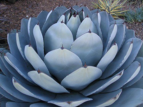 11/10/2016 -- Heirloom Agave Parryi Truncata Rare Succulent. Only $9.99! :)