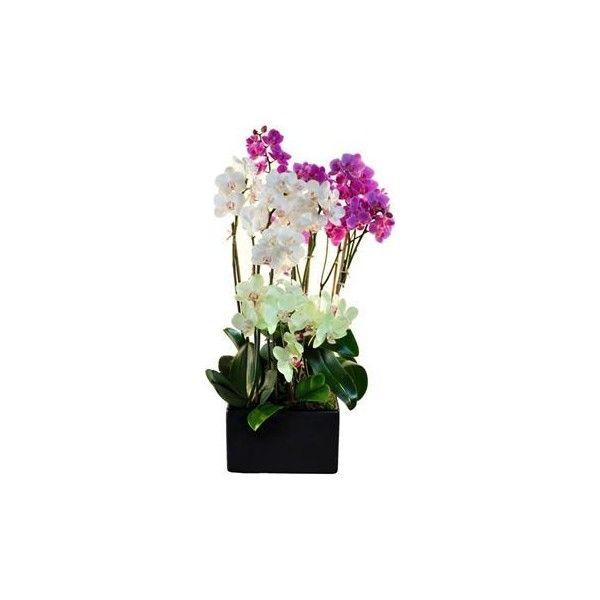 Orchid Rainbow