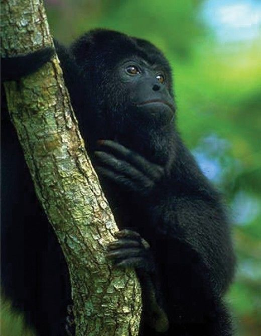 The Black Howler Monkey is the largest primate of the New World Monkeys. Their habitats and feeding habits...