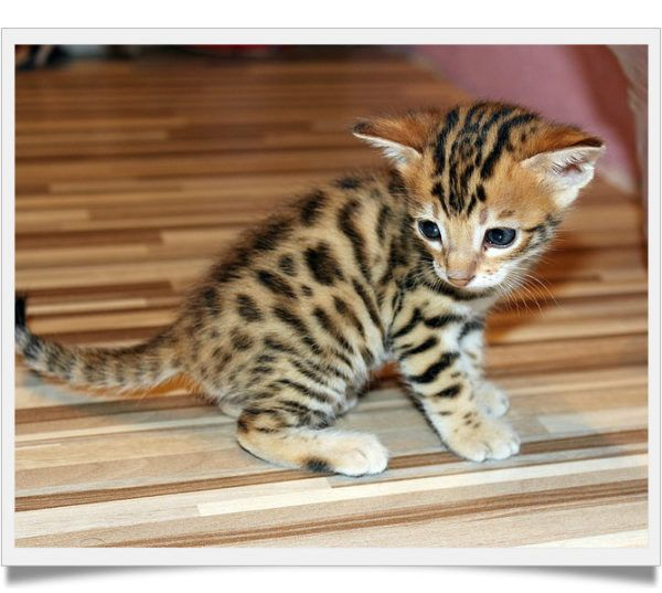 Bengal Kittens For Sale 2018 Buyer S Guide Bengal Kittens For Sale Bengal Cat For Sale Bengal Kitten