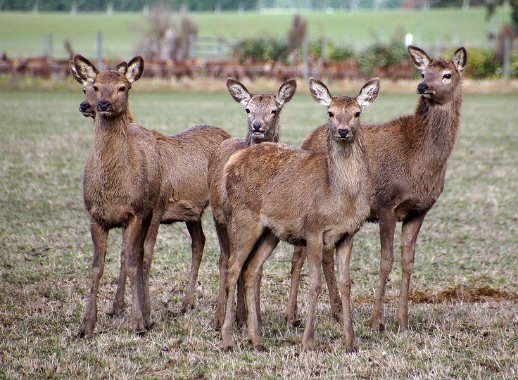 Deer farming New Zealand,