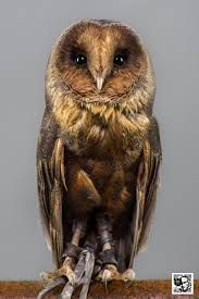 Black Barn Owl - Sök på Google
