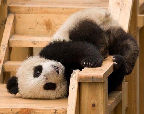... #pandas #pandalovers #animals