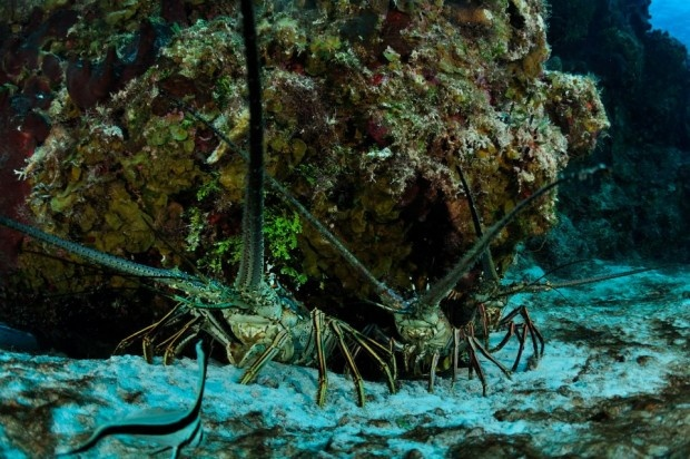69 best Achelata (Unclawed Lobsters) images on Pinterest | Lobsters, Navy life and Ocean life