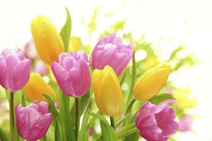 Como plantar tulipanes en una maceta 3