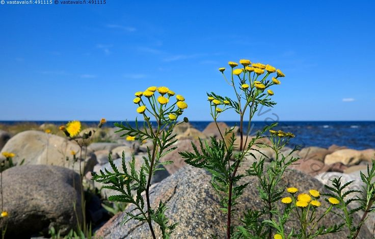 Saaren rantakivikko ja pietaryrtit - pietaryrtti nappikukka Tanacetum vulgare…