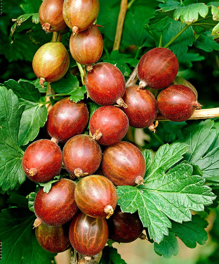 Gooseberry 'Captivator' | Fruit & Veg from Spalding Bulb