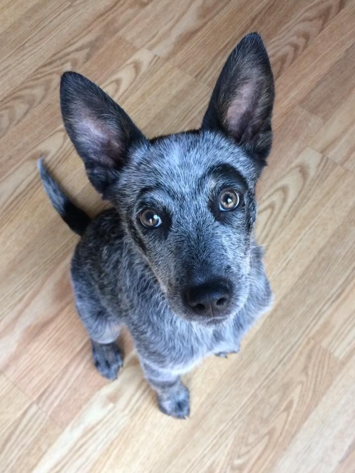 Dat unibrow doe! ❤ Those facial markings make for a dramatic expression! Blue Heeler