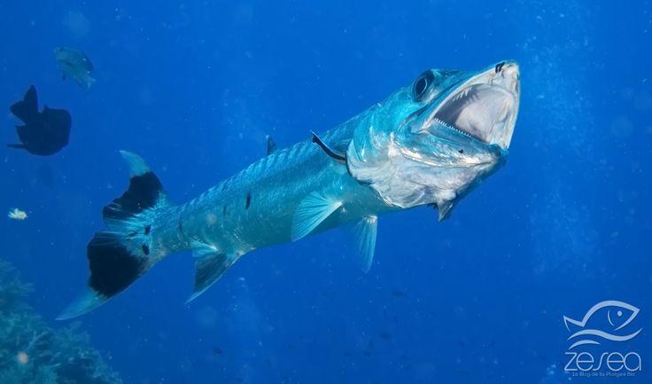 Barracuda aux Brothers en Mer Rouge