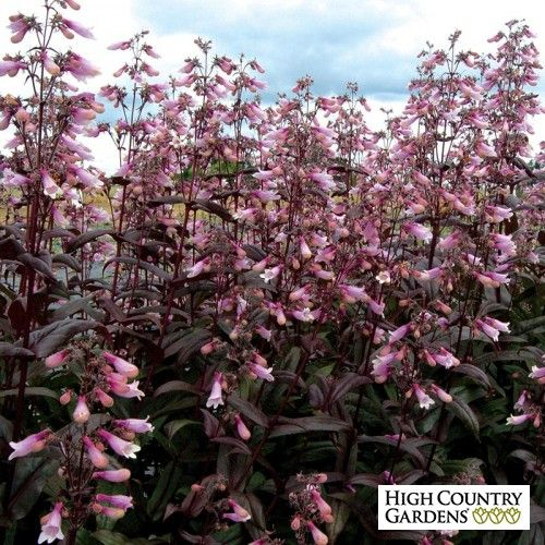 Dark Towers Hybrid Beardtongue (Penstemon 'Dark Towers' PP 20,013) is a tall hybrid Penstemon that blooms in late spring with large, light pink flowers that are held over wine-red foliage. Well adapted to the moister growing conditions in the eastern half of the US.