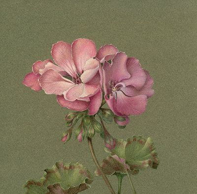 Geraniums in Colored Pencils E-Packet - Epacket - instant download