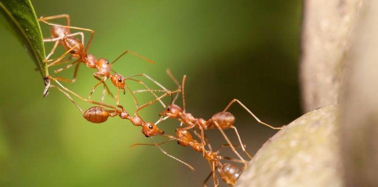 #Antibióticos producidos por las hormigas podrían aplicarse a los humanos - El Nuevo Dia.com: Antibióticos producidos por las hormigas…