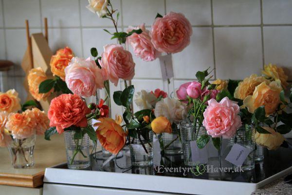 Engelske roser klar til rosenforedrag i Det Danske Rosenselskab Eventyr Haver ®