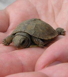 Baby baby box turtle...